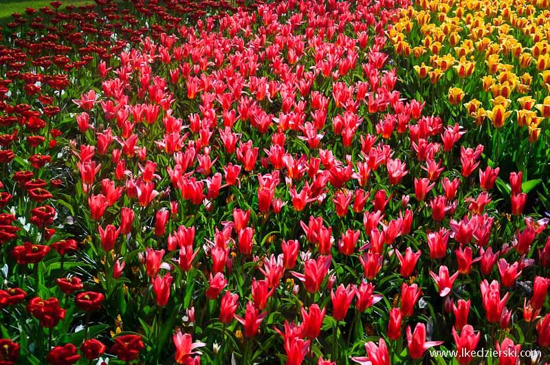 park keukenhof tulipany