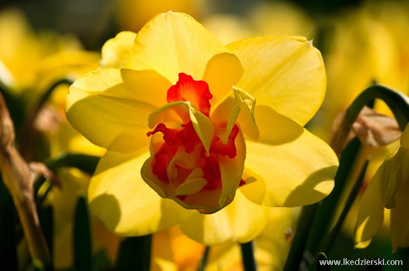 park keukenhof tulipan