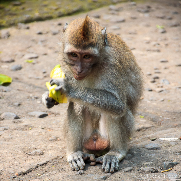 bali monkey forest małpa