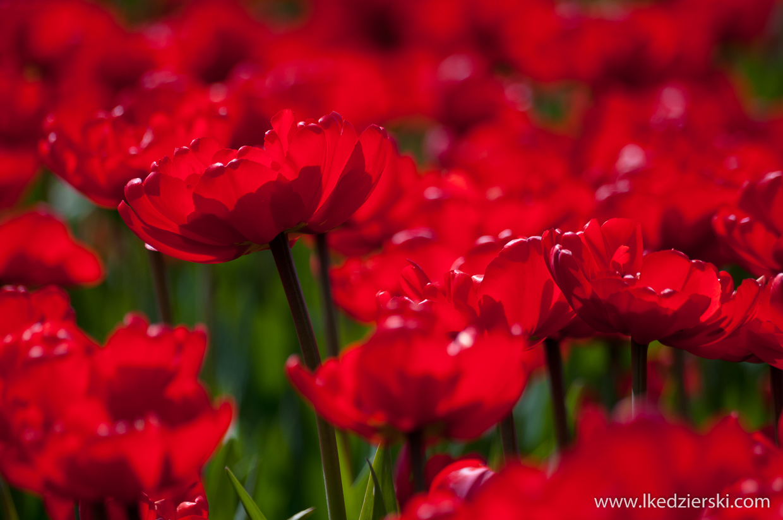 holandia tulipany