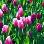 Park Keukenhof – tulipanowe szaleństwo