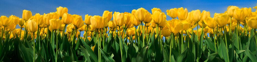 panorama tulipany