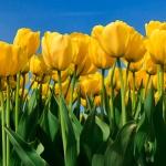 Tulipany – krótka historia