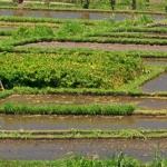 Pola ryżowe w okolicach Tirta Gangga