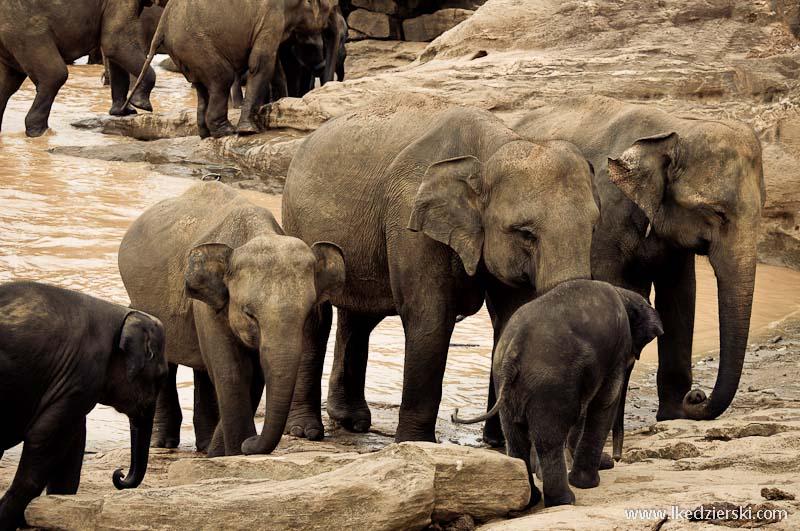 sri lanka podróż pinnewala słonie
