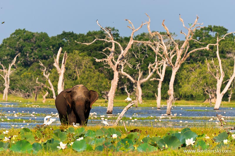 sri lanka podróż yala słoń