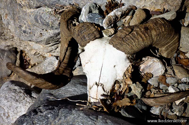 czaszka kozicy
