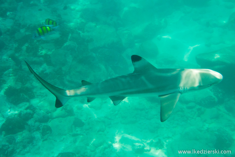 malezja langkawi snorkeling rekin