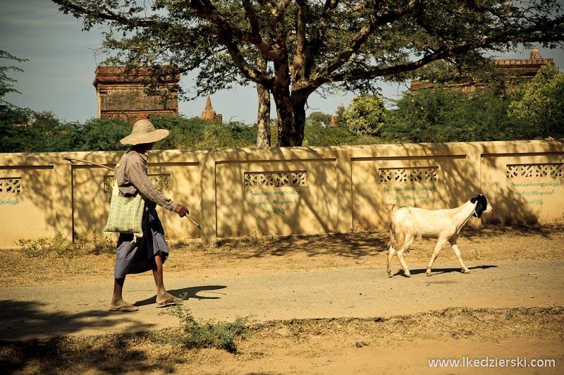 Bagan. Pasterz, który wyprowadza swoje zwierzęta na spacer.