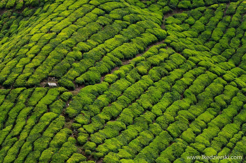 cameron highlands plantacja herbaty