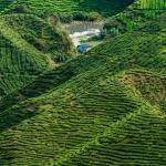 Cameron Highlands, czyli herbaciane wzgórza