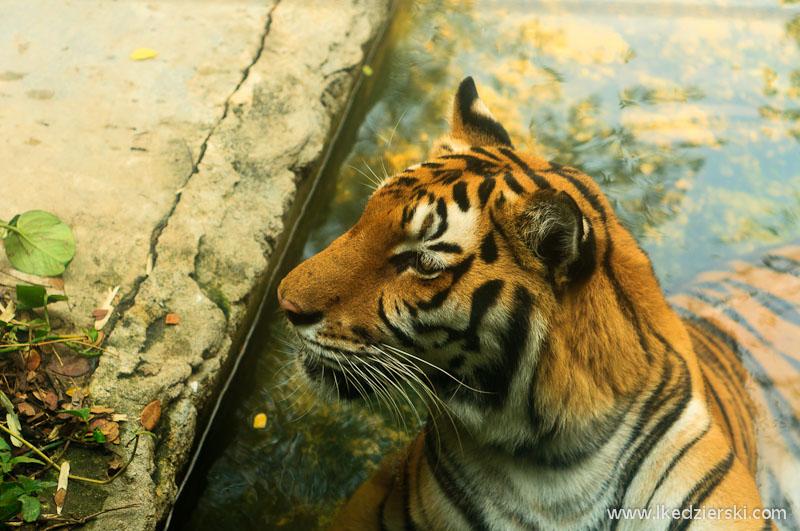 tajlandia tygrys w zoo