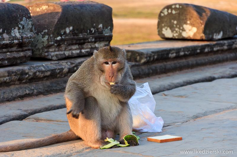 zwiedzanie angkor wat małpa