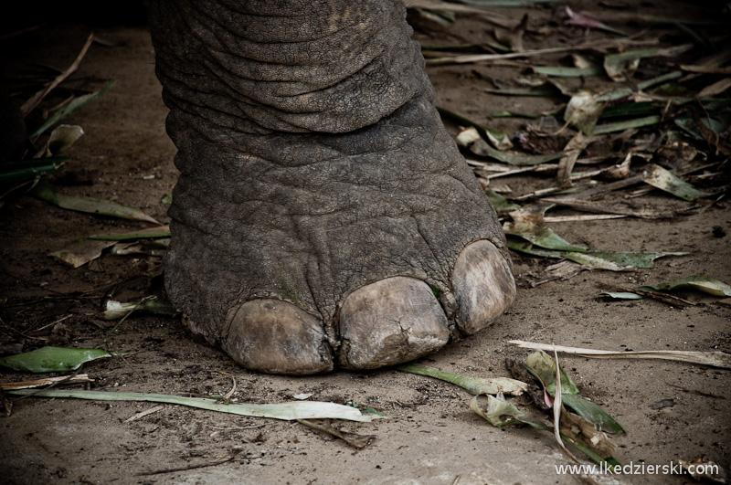 noga słonia