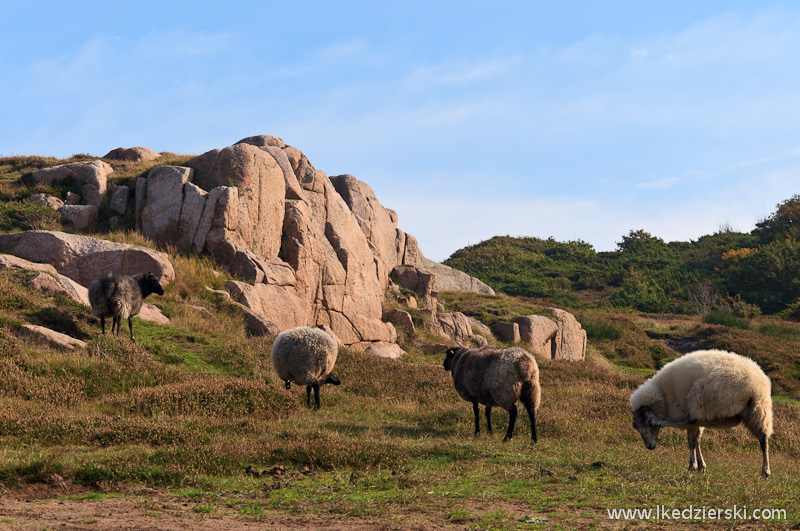 hammeren owce