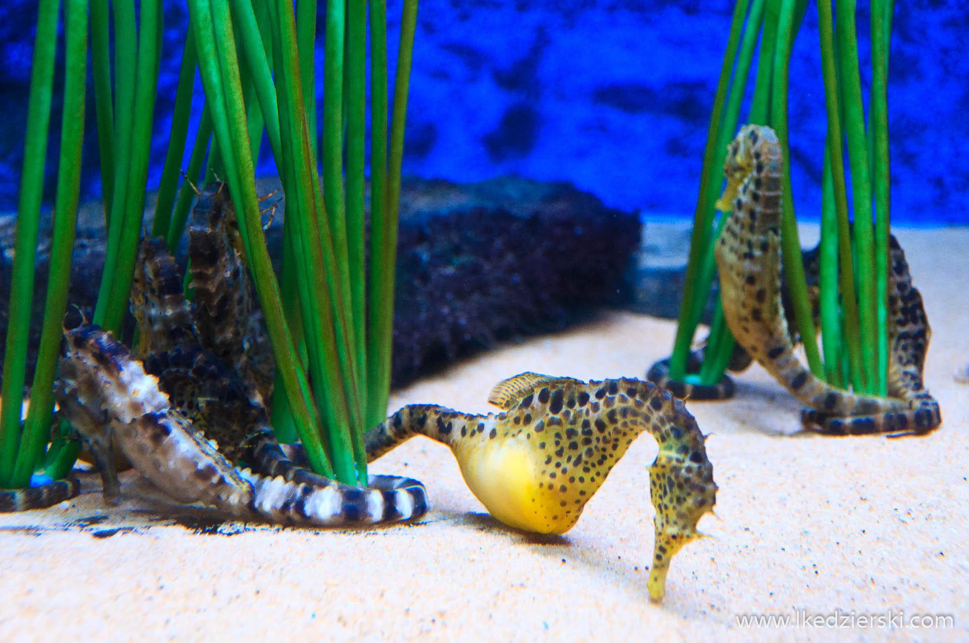 akwarium na langkawi koniki morskie