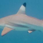 Snorkeling wśród rekinów na Langkawi