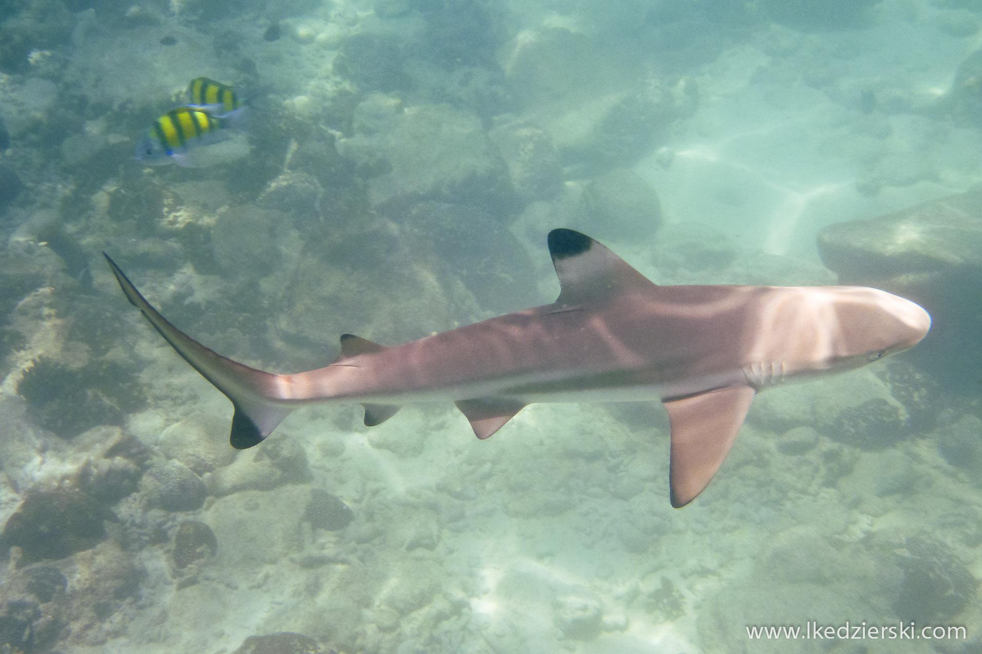 snorkeling na langkawi pulau payar Carcharhinus melanopterus Black Tip Reef Shark.
