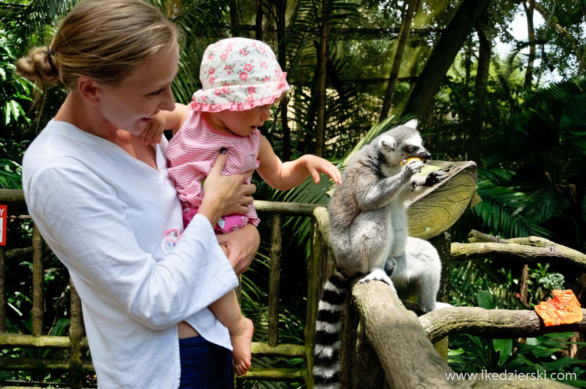 zoo w singapurze lemur