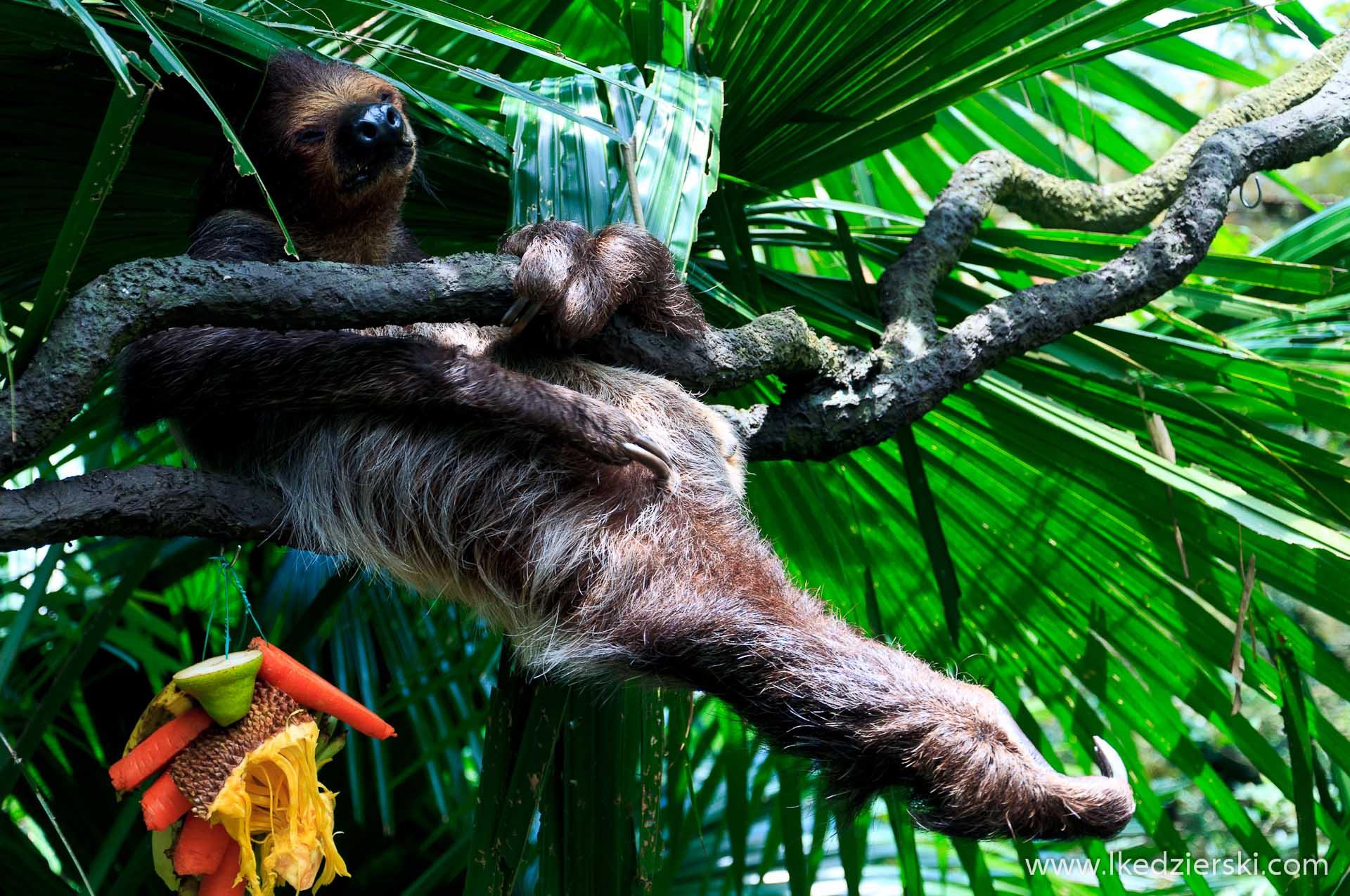 zoo w singapurze leniwiec