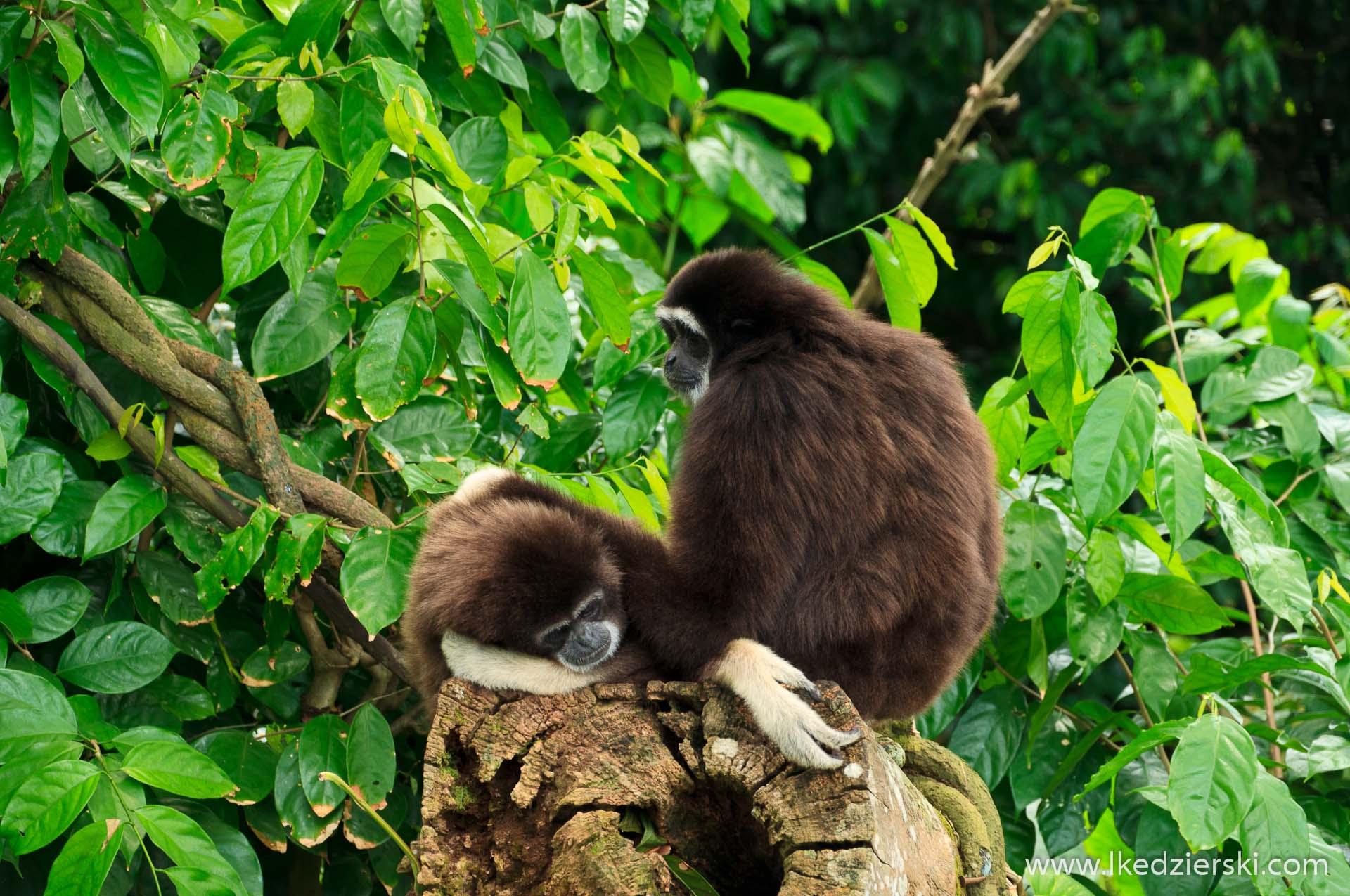 zoo w singapurze małpa