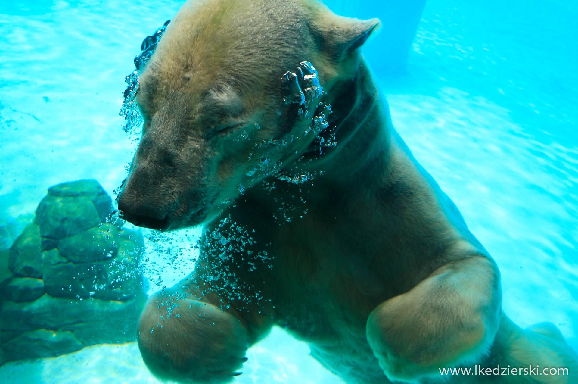 zoo w singapurze niedźwiedź polarny