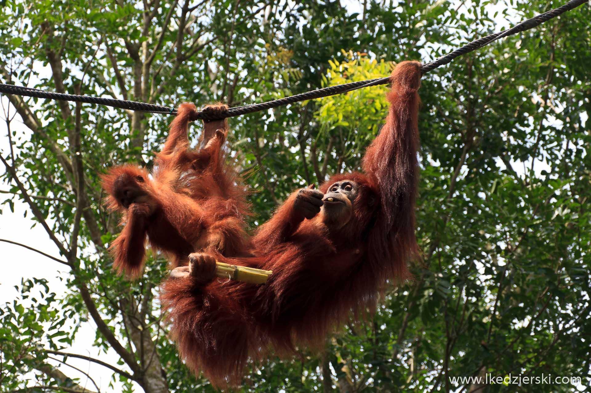 zoo w singapurze orangutan