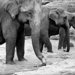 Pinnawala – sierociniec dla słoni [video]