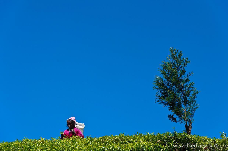 sri lanka zbieranie herbaty tamilki