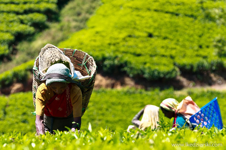sri lanka zbieranie herbaty tamilki plantacje herbaty
