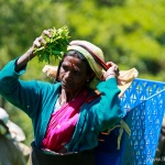 Zbieranie herbaty na Sri Lance