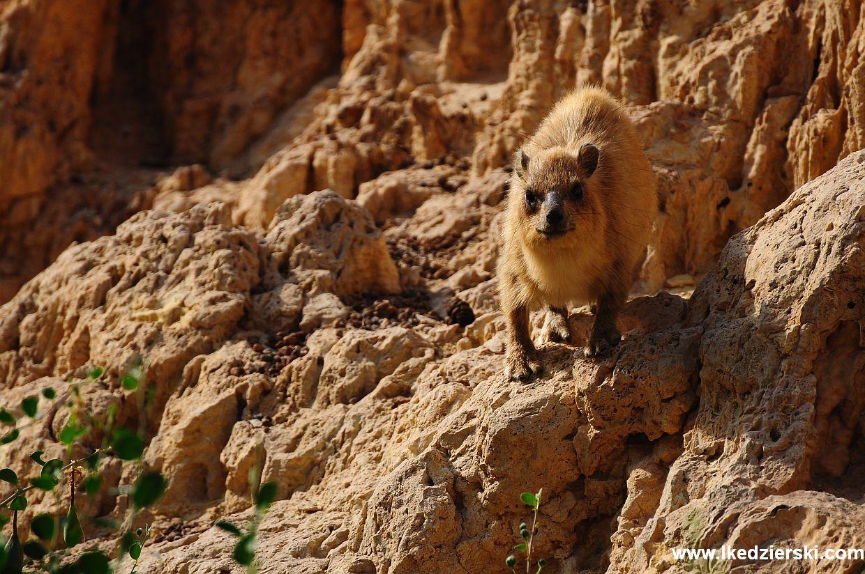 ein gedi rocky hyrax