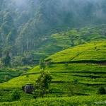 Lipton's seat – najpiękniejsze plantacje herbaty