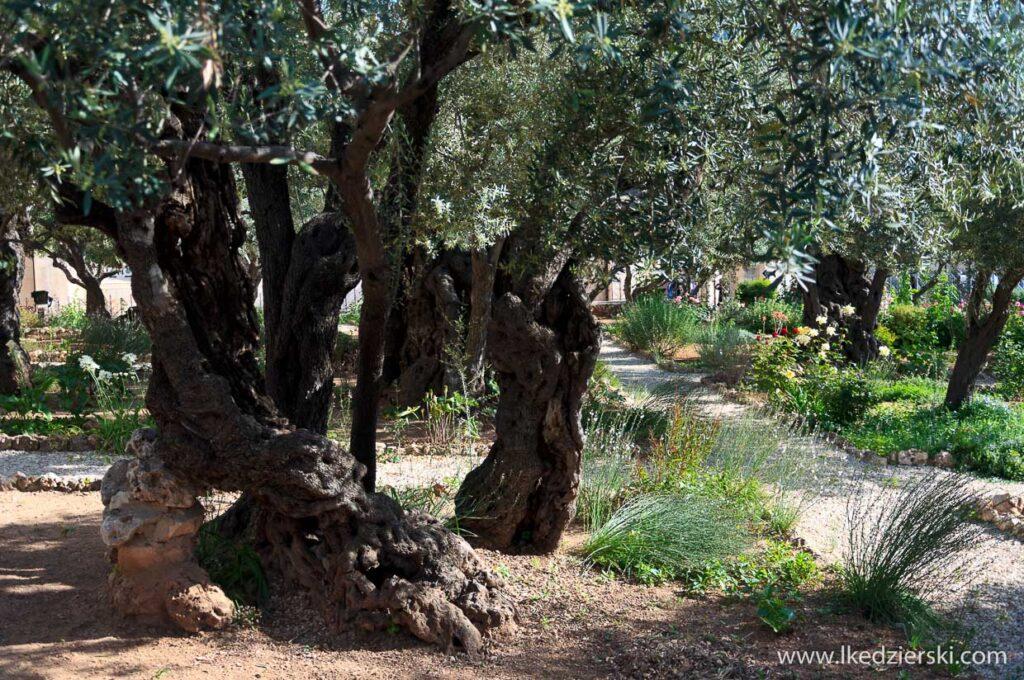 góra oliwna ogójec