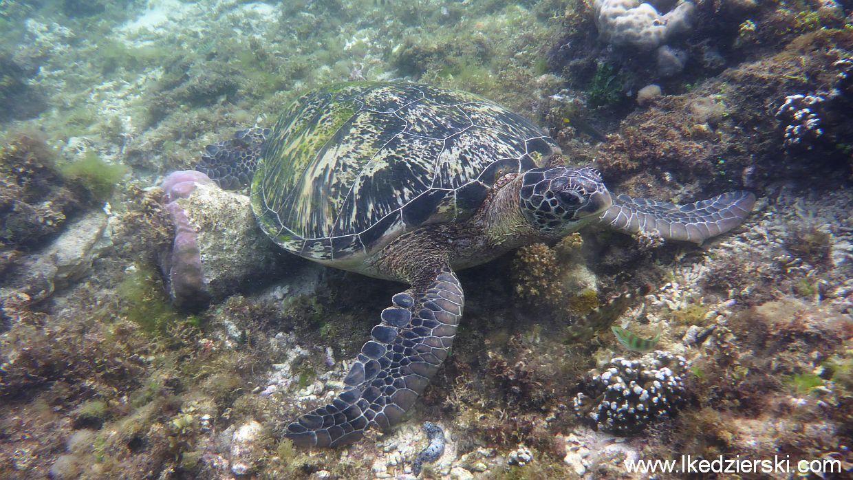 apo island żółw