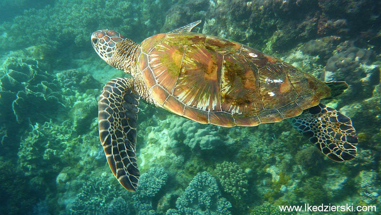 Upragnione żółwie w naturalnym środowisku na Apo Island.