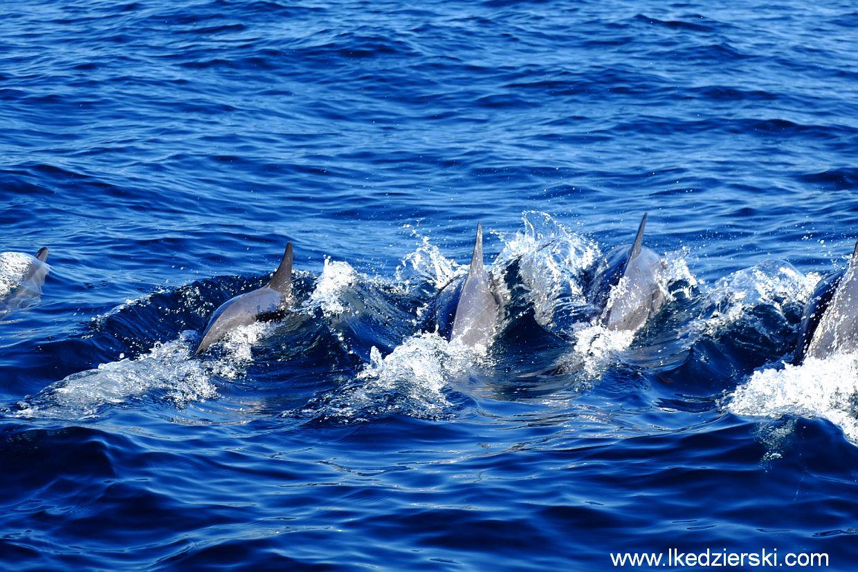 pamilacan delfiny