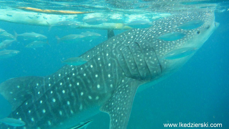 Rekin Wielorybi, Whale shark, Oslob