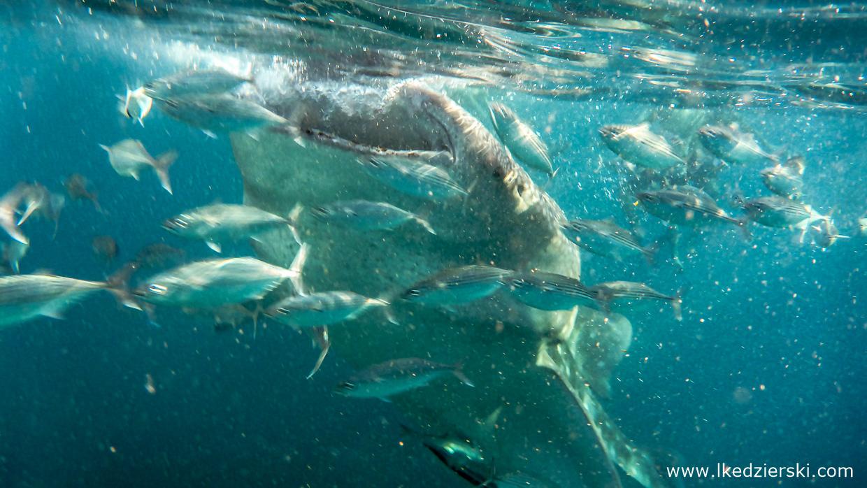 oslob whale shark rekiny wielorybie