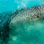 Rekiny wielorybie w Oslob na Filipinach