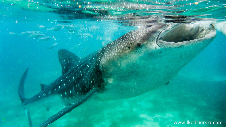rekin wielorybi whale shark