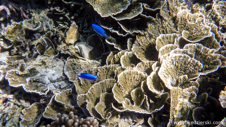snorkeling na filipinach apo island