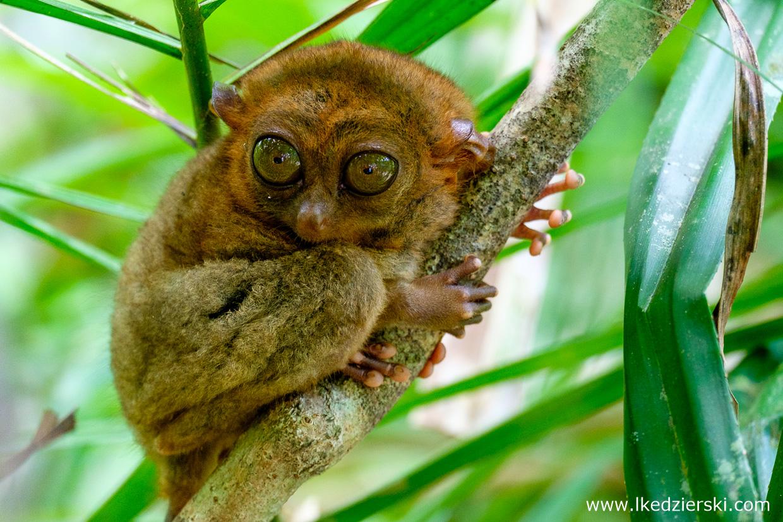 filipiny bohol tarsier wyrak