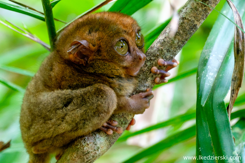 filipiny bohol tarsier wyrak corella sanctuarium
