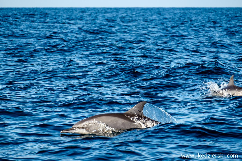 filipiny pamilacan dolphin watching delfiny
