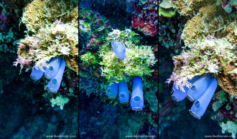 nurkowanie na filipinach balicasag diving philippines Clavelina fusca, tunicata osłonice