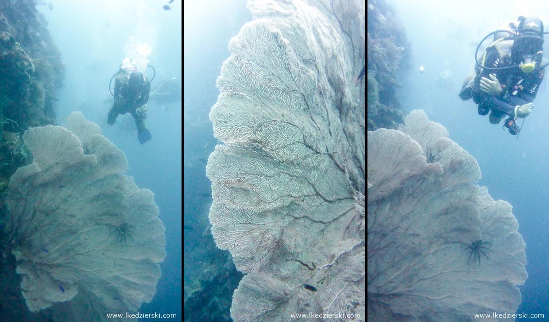 nurkowanie na filipinach balicasag diving philippines gorgonie Gorgonacea
