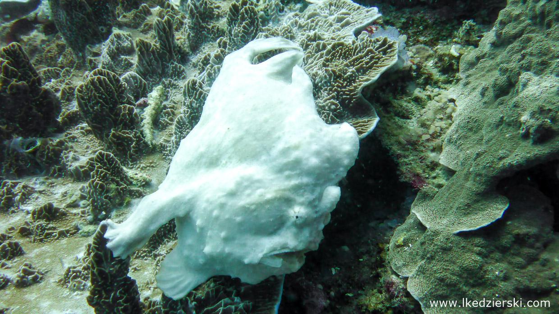 nurkowanie na filipinach balicasag diving philippines frogfish