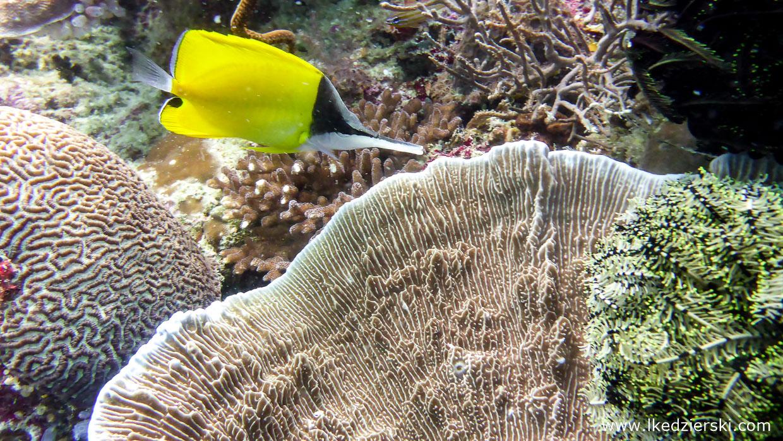 nurkowanie na filipinach balicasag diving philippines Pensetnik czarnogłowy forcipiger flavissimus