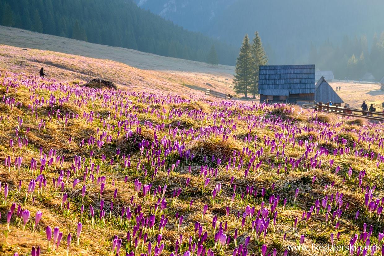 dolina chochołowska krokusy w tatrach